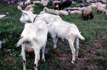 98072121_Goats